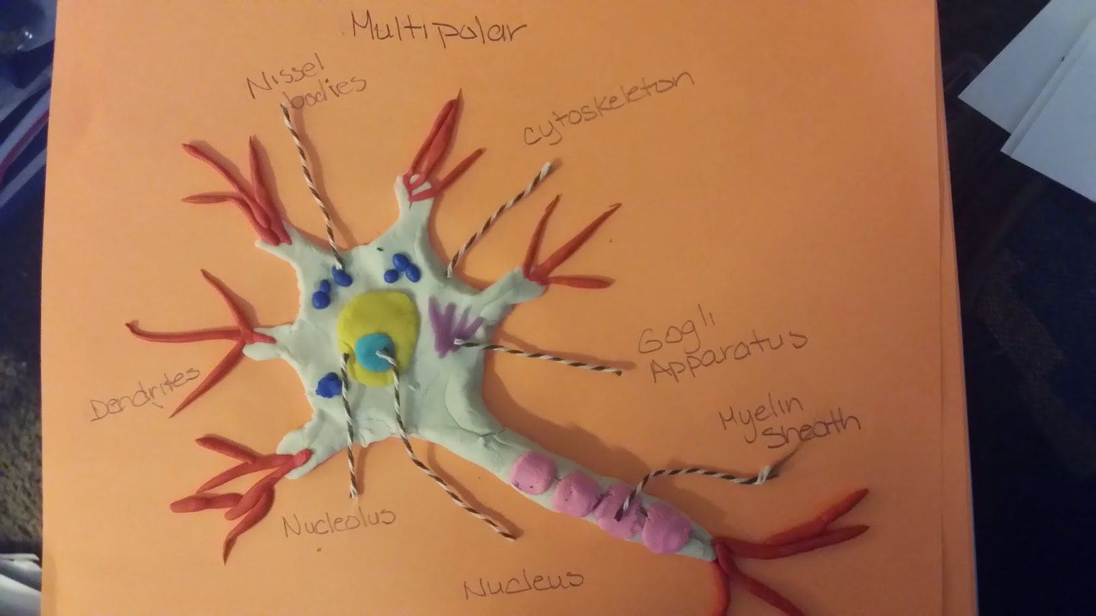 MULTIPOLAR NEURON  Labeled Multipolar Neuron Model