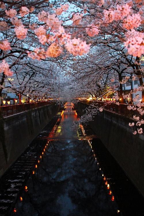 Cherry Blossom River, Kyoto