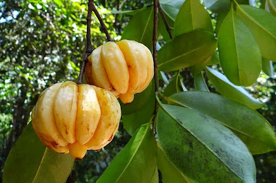 Brindle Berry (Garcinia Cambogia  Garcinia Gummi-gutta) Overview, Health Benefits, Side effects