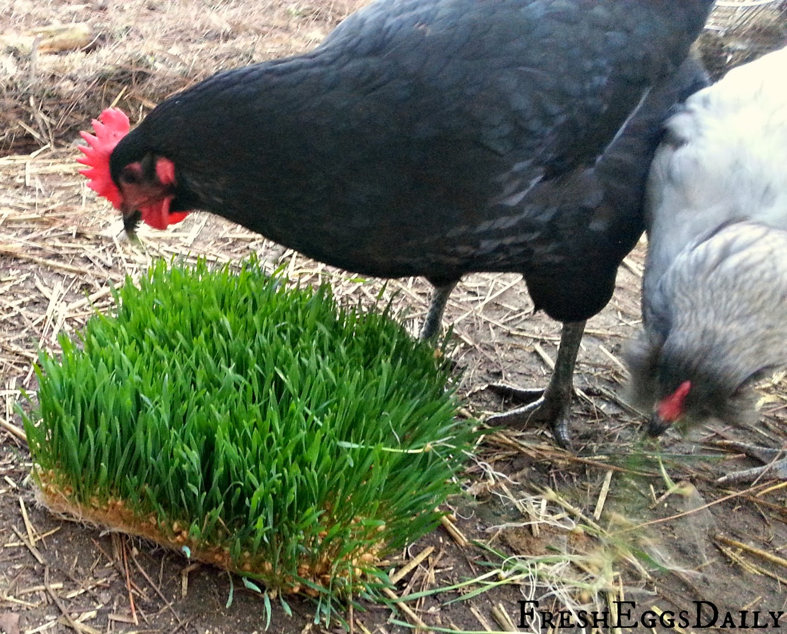 Growing Sprouted Fodder For Your Chickens Plus Chick