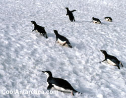 Adelie penguins tobagganing in Antarctica