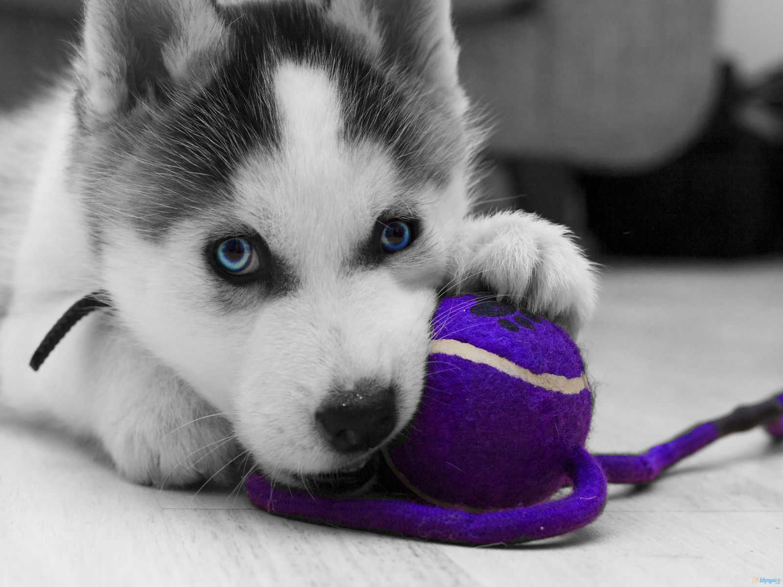 The together project siberian husky love