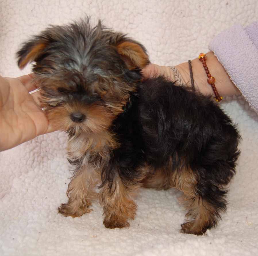 Yorkie Poo Full Grown Size | Dog Breeds Picture