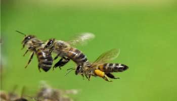 самка поднимается в воздух, самцы устремляются за нею,