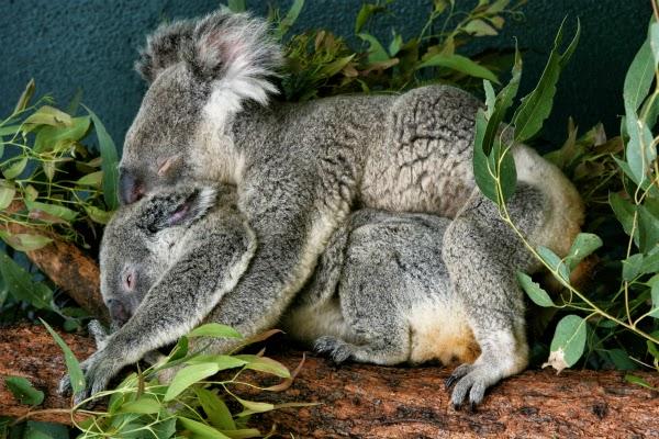 koala gay