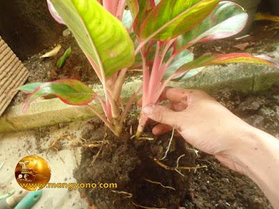 Mengeluarkan tanaman dan tanah dari pot