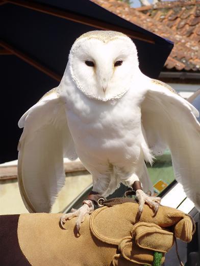 http://2.bp.blogspot.com/-XX923-zOtow/TbXK1tHP6KI/AAAAAAAACIk/Vb035551LnU/s1600/barn+owl.jpg