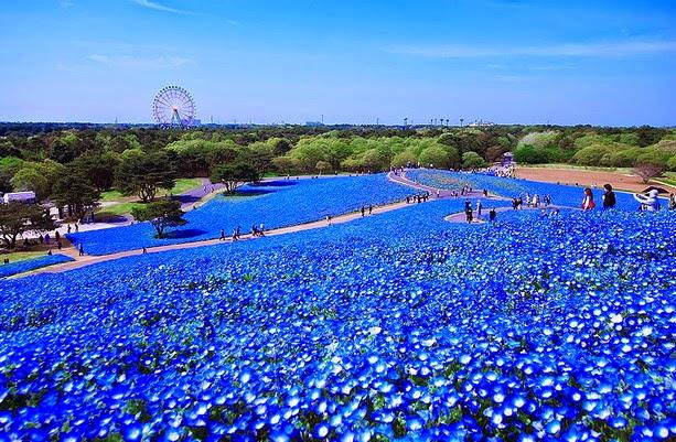 Fascinantes campos azules, no son de otro planeta son de aquí de la Tierra Azules7