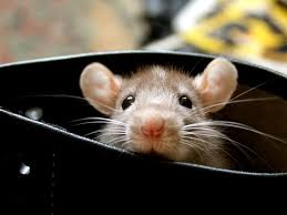 Image result for rat peeking