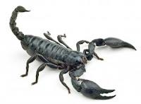 scorpion, US, desert
