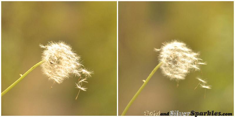 dandelion, falling dandelion, wind, flower