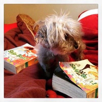 A fuzzy grey poodle, Murchie, stands on a rumbled red comforter. His head is twisted to the right side of the frame. On either side of him lie trade paperback omnibi of Skip Beat. Each book's cover features a Japanese girl with short red hair, in company with a tall Japanese boy with short light brown hair.
