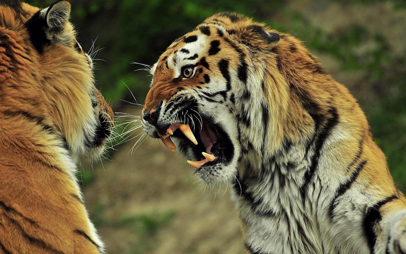 ... tijger die zijn tanden laat zien | HD tijger wallpaper foto