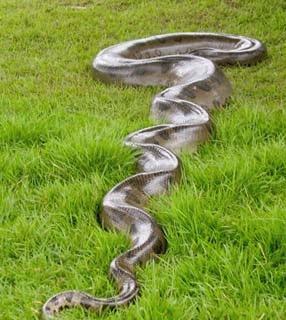 Significado dos Sonhos com Cobra Sucuri