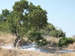 Μαστιχοφόρος σκίνος – Μαστιχόδεντρο