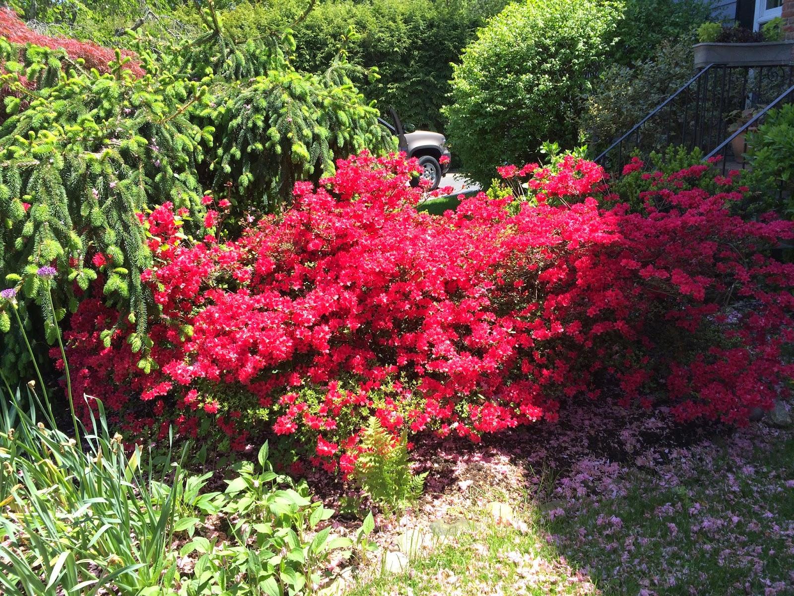 Gardening and Gardens: Azaleas: to prune or not to prune?