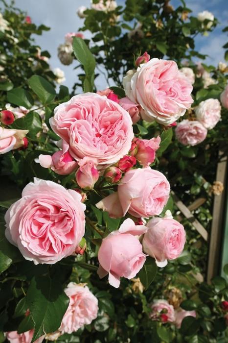 Giardina rose сорт розы фото