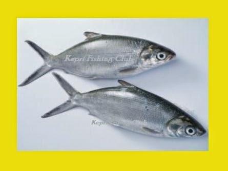 Tips Dan Trik Memancing Ikan Bandeng 2