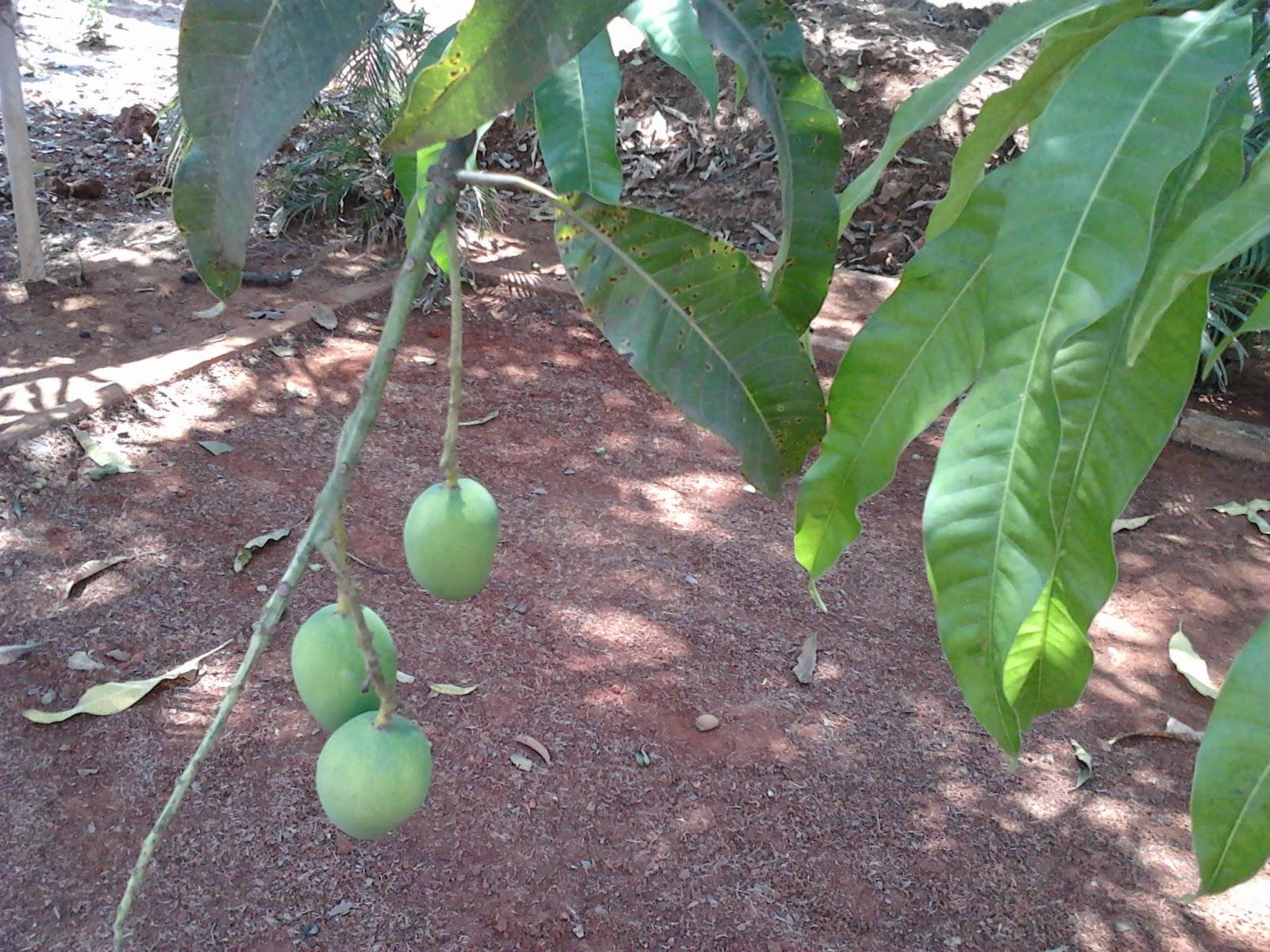 how to take care of mango tree