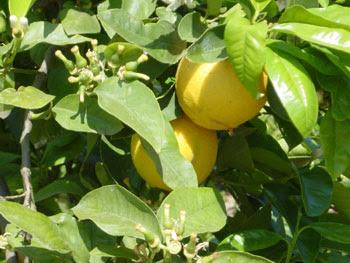 DRINKFACTORY: Flavour of the Week - Bergamot