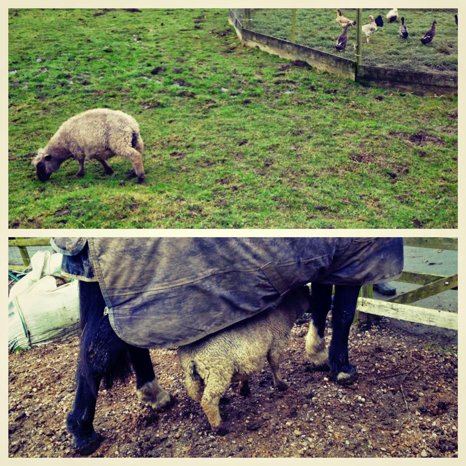 sheep malvern england