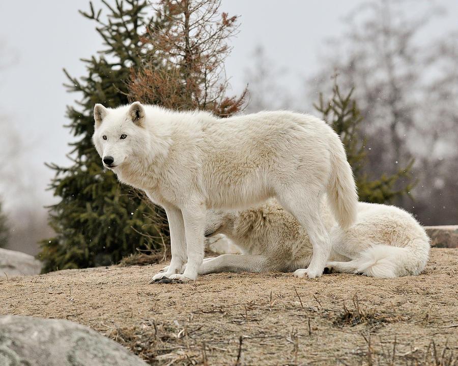 Wild arctic wolf