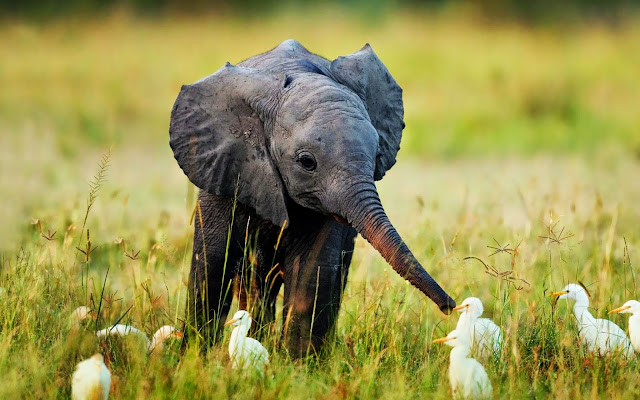 189289-Little Baby Elephant With Ducks Animal HD Wallpaperz