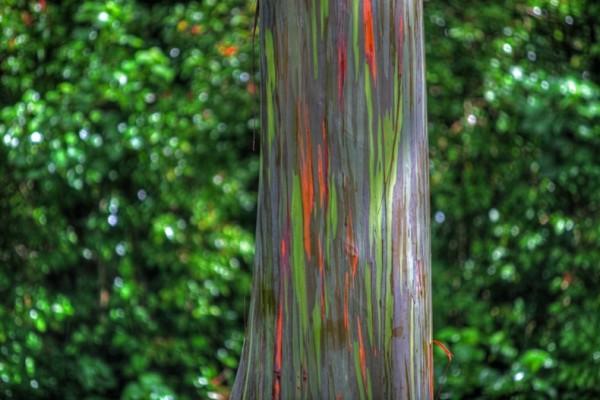 شجرة ذو الوان طبيعية مبهرة rainbow-eucalyptus-5