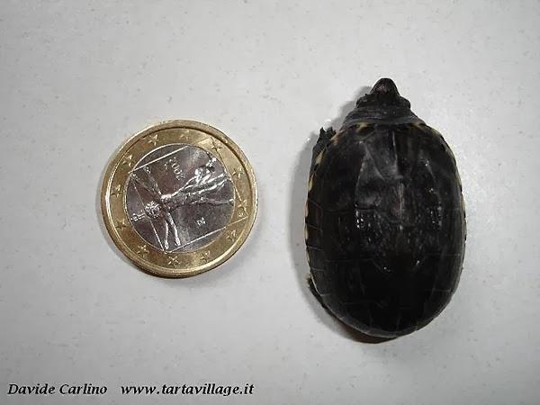 Neonato de Staurotypus salvinii