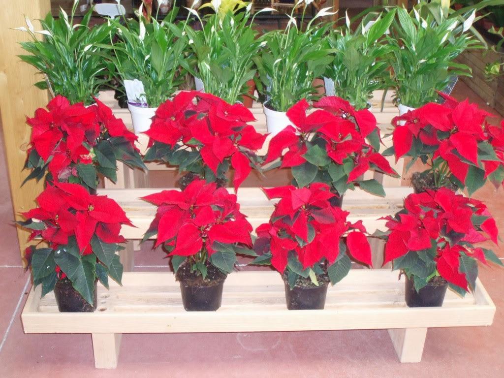 Comprar plantas online flor de pascua la planta de interior navide a - Plantas de interior online ...