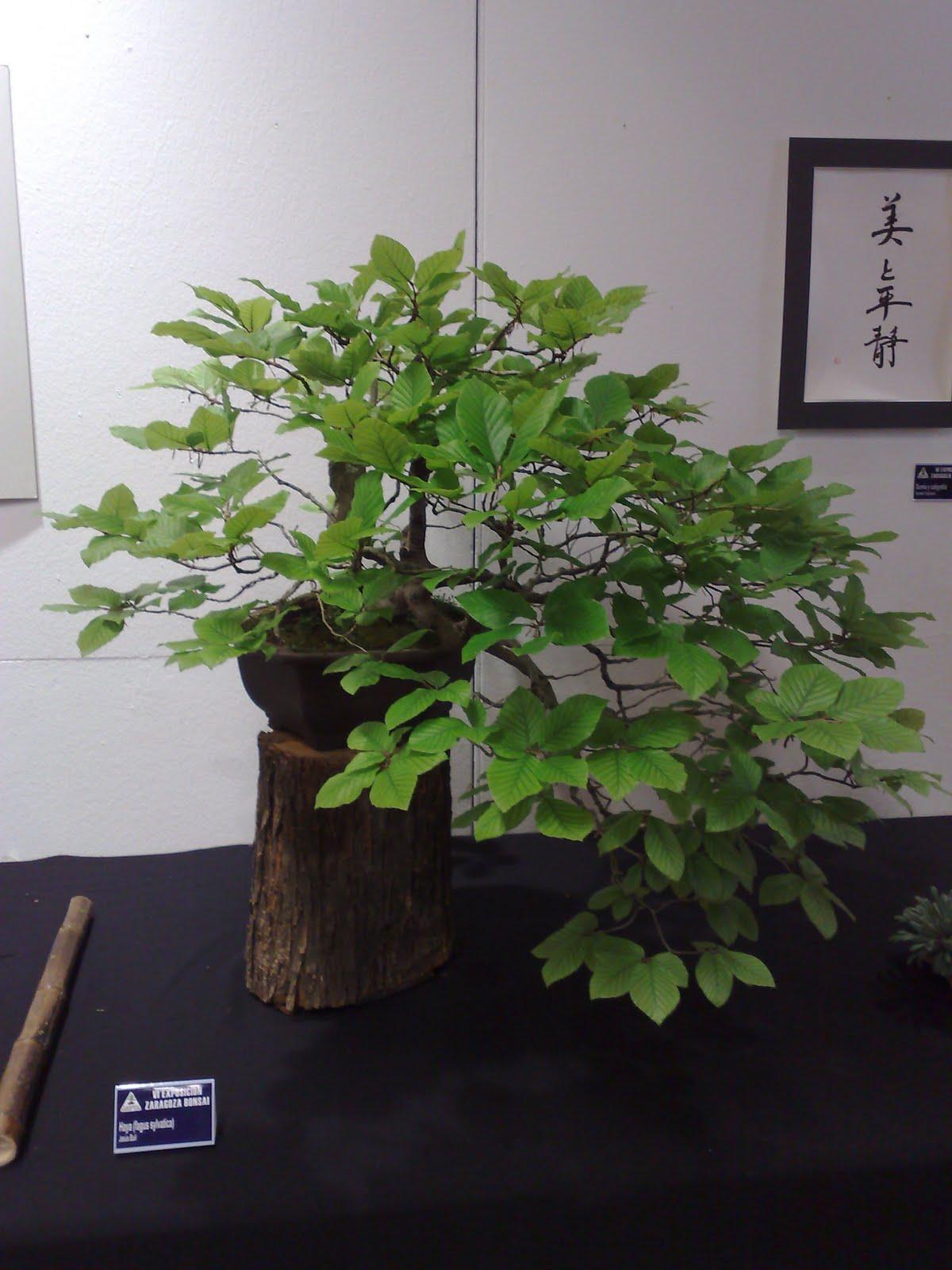 Hobbie bonsai vi exposici n de bonsai de zaragoza - Bonsai de haya ...