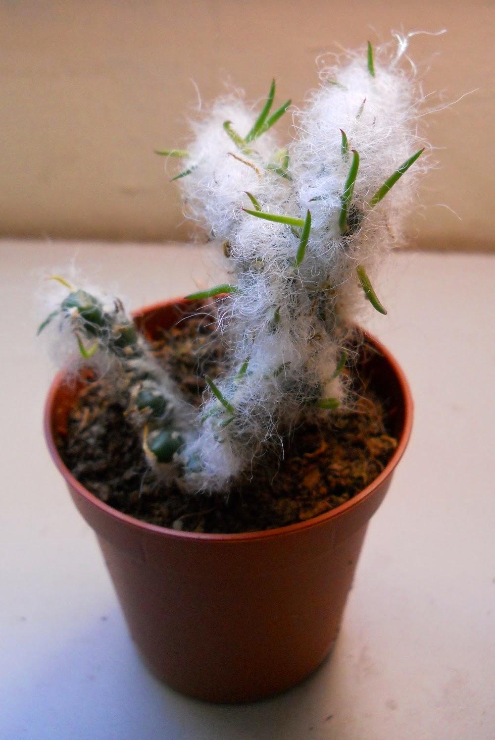 cactus Opuntia vestita cristata