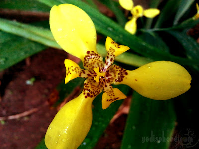 Yellow wild orchid flower in bloom at a garden