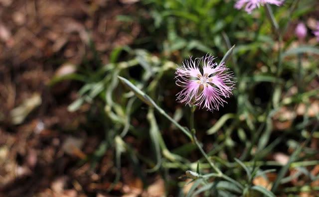 Dianthus Superbus Flowers Pictures