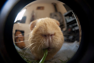 Guinea pig photographs
