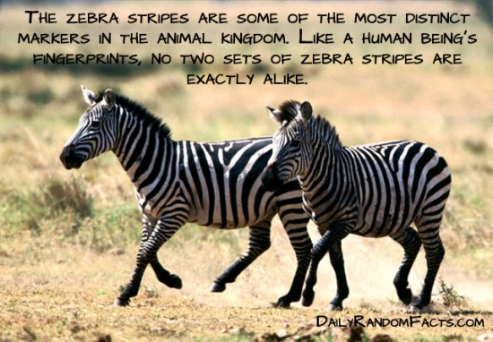 animal facts, facts about animals, interesting animal facts, zebras fact