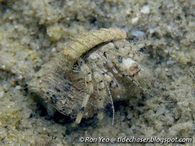 Diogenes Hermit Crab (Diogenes sp.)