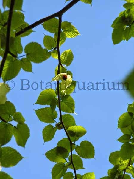 Botaniquarium - Davidia involucrata branch
