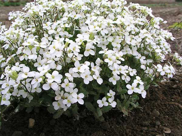 Piante e fiori arabis for Fiori per giardino perenni