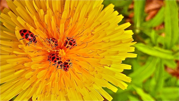 Asian lady beetles attempting to burrow in a dandelion