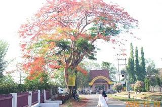 pohon idaman