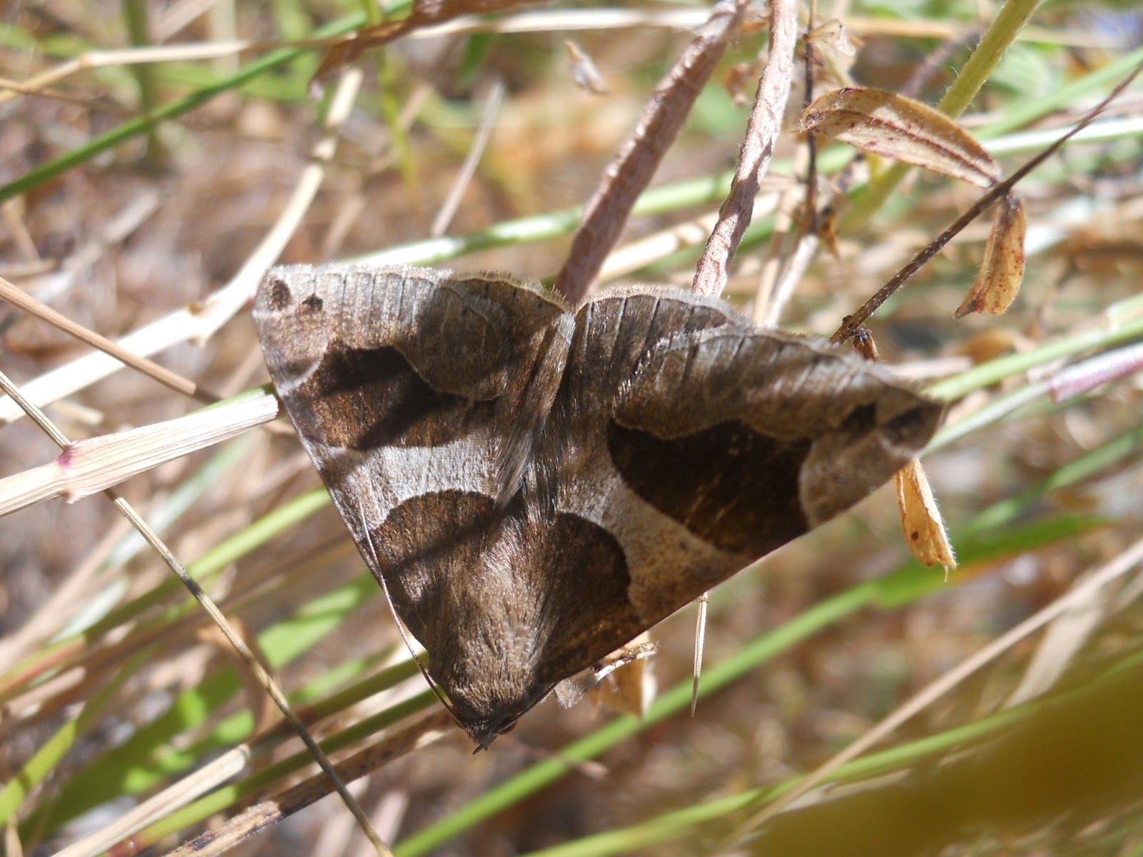 Disgonia algira, mariposa nocturna de coloración discreta