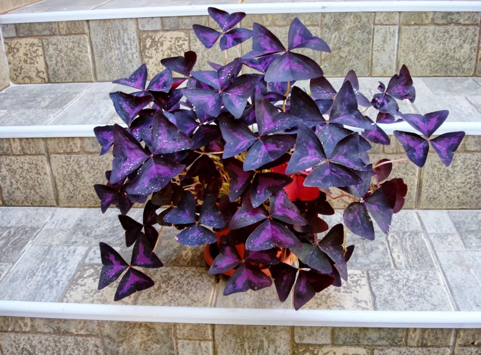 Как выглядит цветок оксалис фото