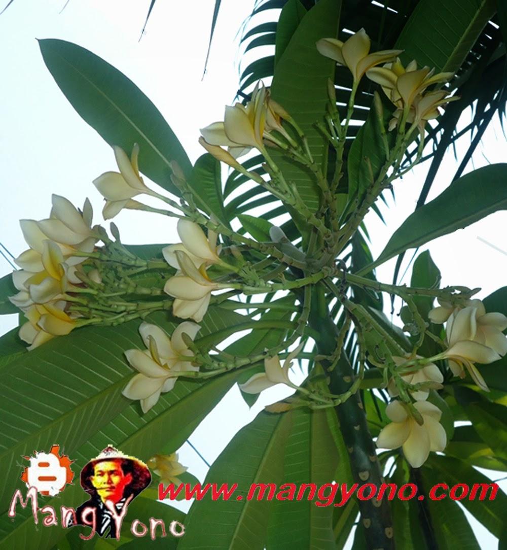 Bunga kamboja Kuning