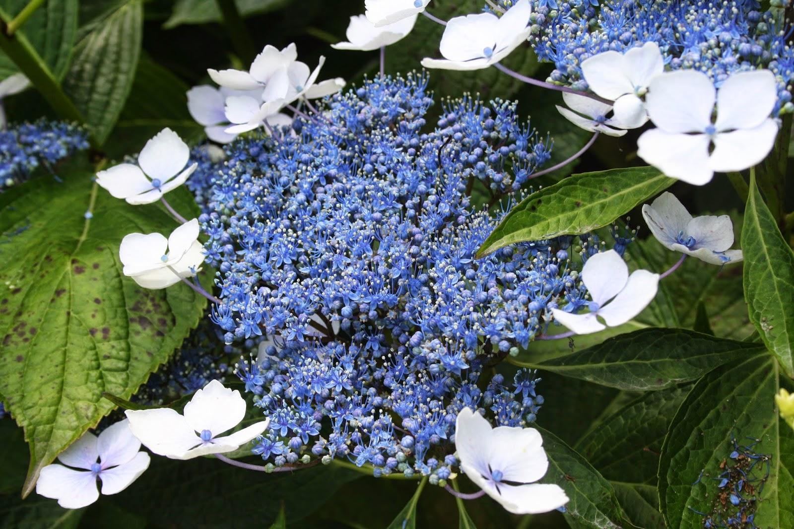 El jard n de margarita hortensias qu guapas son - Variedades de hortensias ...