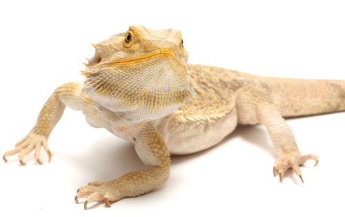 Breaded Dragons |Breaded Dragon | Breaded Dragon care