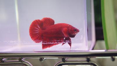 Betta Tradicional Plakat Show (FULL RED) DSC04800