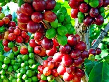 Cara meningkat hasil panen budidaya kopi dengan pupuk organik nasa