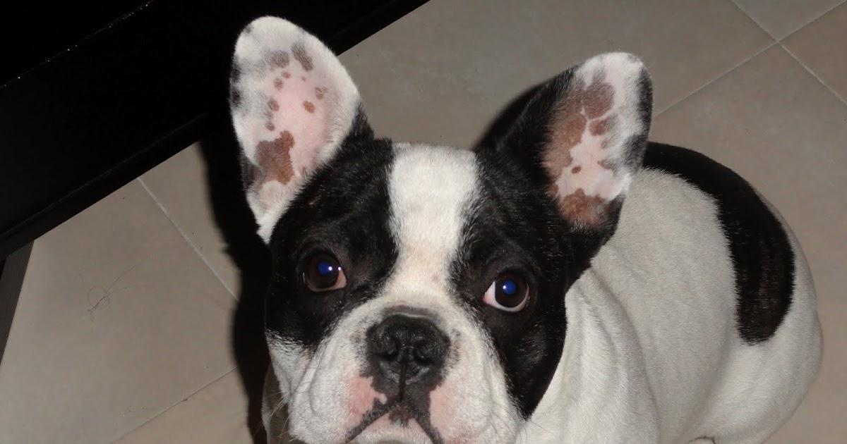 Bulldog franc s busca novia en madrid y castilla la mancha - Bulldog frances gratis madrid ...