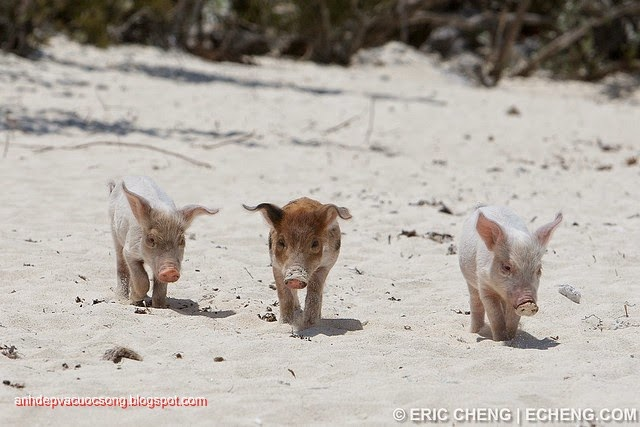 Đảo heo Big Major Spot – Bahamas 15
